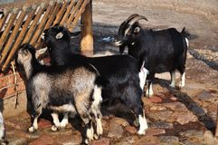Goats feeding Stock Images