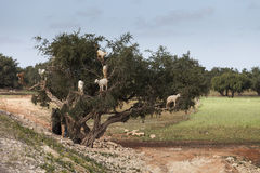 Goats feeding in argan tree. Marocco Stock Photography