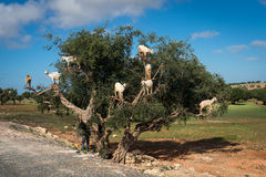 Goats feeding in argan tree. Marocco Stock Photos