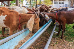 Goats feeding in the farm. Of Si Sa Ket, Thailand royalty free stock image
