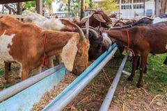 Goats feeding in the farm Royalty Free Stock Image