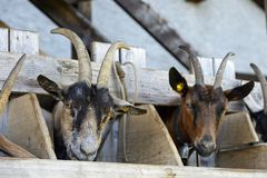 Goats at a the feeding place Stock Photo