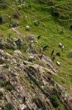 Goats feeding on a rocky slope Royalty Free Stock Photo