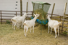 Goats Feeding and Suckling Royalty Free Stock Photos