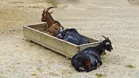 goats and a feeding trough Royalty Free Stock Photo
