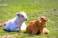 Goats on the field Royalty Free Stock Photography