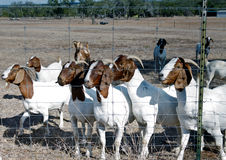 Goats in a field Royalty Free Stock Photography