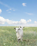 Goats on the field Stock Images