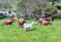 Goats. On field eating grass Royalty Free Stock Photos