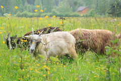 Goats in field Stock Photos