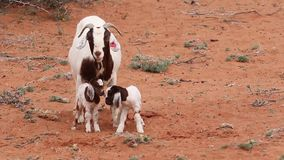Goats in the field in the Kalahari in South Africa