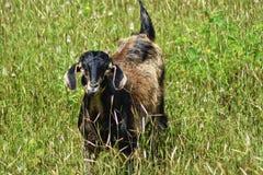Goats in the field. Photography from Kolad Maharashtra India royalty free stock photo