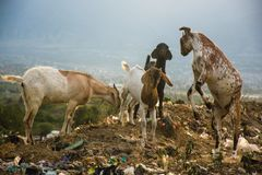 Goats fight and find food in the trash. Dusk at the final dump site TPA Kawatuna, Palu city, Indonesia Central Sulawesi. long exposure stock images