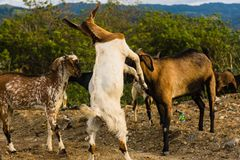 Goats fight and find food in the trash. Dusk at the final dump site TPA Kawatuna, Palu city, Indonesia Central Sulawesi. long exposure royalty free stock image