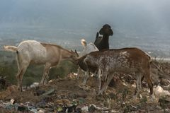 Goats fight and find food in the trash. Dusk at the final dump site TPA Kawatuna, Palu city, Indonesia Central Sulawesi. long exposure royalty free stock photography