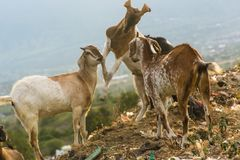 Goats fight and find food in the trash. Dusk at the final dump site TPA Kawatuna, Palu city, Indonesia Central Sulawesi. long exposure stock image