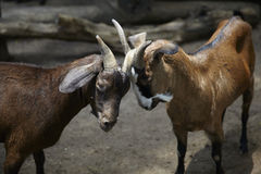 Goats Fight Stock Photos