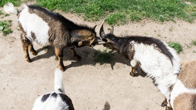 Goats are fighting head buttle Stock Image