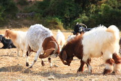 Goats Are Fighting Stock Photos