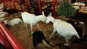 Goats fighting in Pen stock video