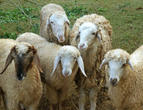 Goats. Five Goats at the farm stock images
