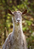 Goats in the forest. Domestic goats in the forest, telephoto shot Stock Images