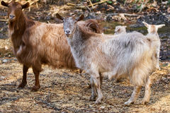 Goats in the forest. Domestic goats in the forest, telephoto shot Royalty Free Stock Image