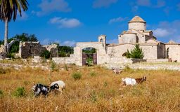 Goats in front of the Panagia Kanakaria Church and Monastery in the turkish occupied side of Cyprus 3. Goats in front of the Panagia Kanakaria Church and royalty free stock photography