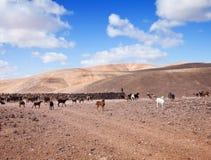 Goats of Fuerteventura Royalty Free Stock Photo