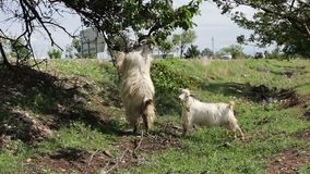Goats funny eating foliage from the tree stand on hind legs near Tbilisi, Georgia stock video