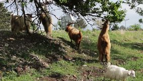 Goats funny eating foliage from the tree stand on hind legs near Tbilisi, Georgia stock video footage