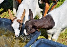 Goats, Goat, Cow Goat Family, Fauna Royalty Free Stock Image