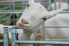 Goats, Goat, Cow Goat Family, Fauna stock photography
