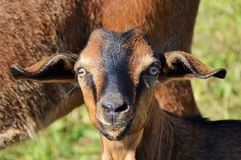 Goats, Goat, Cow Goat Family, Goat Antelope Stock Photography