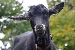 Goats, Goat, Cow Goat Family, Goat Antelope Stock Image