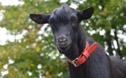 Goats, Goat, Cow Goat Family, Goat Antelope Royalty Free Stock Image