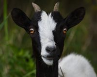 Goats, Goat, Cow Goat Family, Horn Royalty Free Stock Images