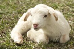 Goats, Goat, Cow Goat Family, Livestock Royalty Free Stock Images