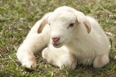 Goats, Goat, Cow Goat Family, Livestock Royalty Free Stock Photo