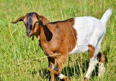 Goats, Goat, Cow Goat Family, Pasture Stock Photos