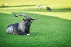 Goats. On the goat farm stock images