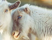 Goats, Goat, Fauna, Cow Goat Family Stock Image