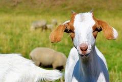 Goats, Goat, Fauna, Cow Goat Family Stock Image