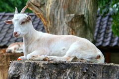 Goats, Goat, Fauna, Cow Goat Family Royalty Free Stock Photography