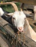 Goats, Goat, Fauna, Cow Goat Family stock photo