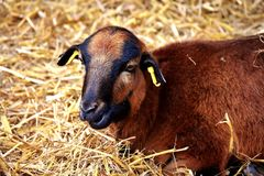 Goats, Goat, Fauna, Cow Goat Family Royalty Free Stock Image