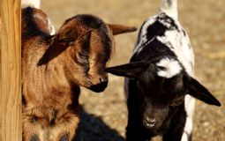 Goats, Goat, Fauna, Cow Goat Family stock photography