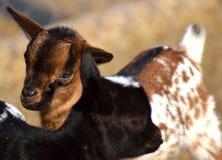 Goats, Goat, Fauna, Cow Goat Family royalty free stock photos