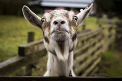 Goats, Goat, Fauna, Horn Royalty Free Stock Photography