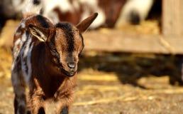 Goats, Goat, Fauna, Horn Stock Photos